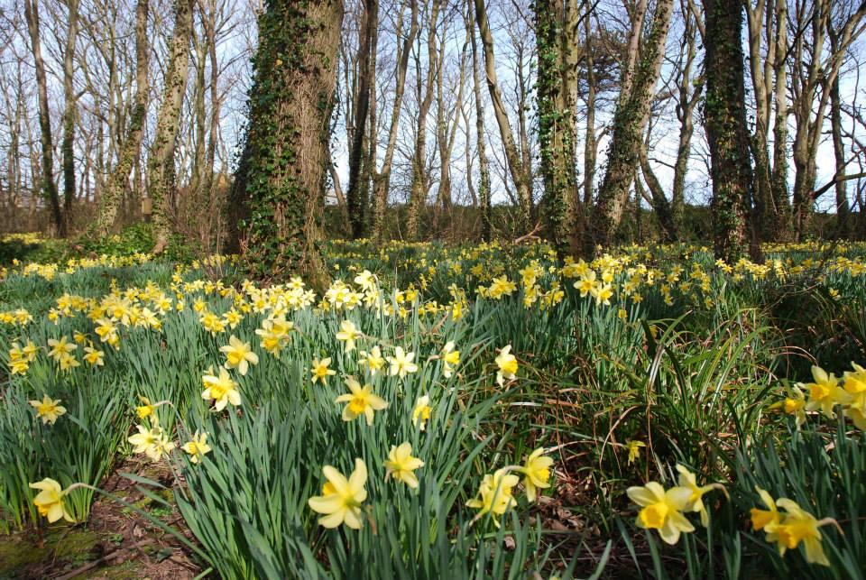 Daffodils at Hunterston Castle